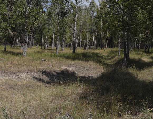 Panorama image of cottonwood trees adjacent to the three river sites, which were scanned at high resolution as part of the study. Photo by Sarah Doelger.