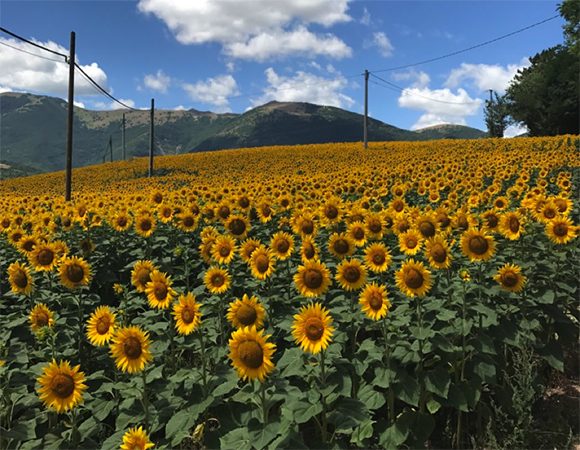 Sunflowers in the Umbrian countryside. (Photo/Rick Bennett, University of Arizona)