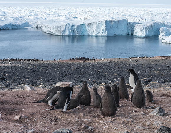Adult Adélie penguins keep watch over the chicks in these small sub-colonies within the larger Crozier colony. (Photo/Keith Williams, UNAVCO)